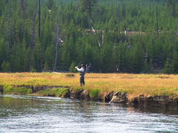 Man fly fishing: Man fly fishing on a river in Yellowstone National Park.