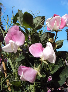 Shades of pink: Delicate pink hues of sweetpeas