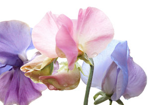 Sweetpeas: Capturing the delicate colours of sweetpeas