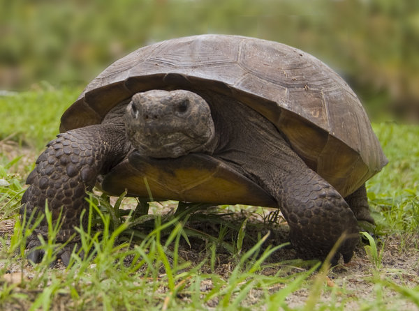 Florida Gopher Tortoise: Tortoise found throughout SW Florida