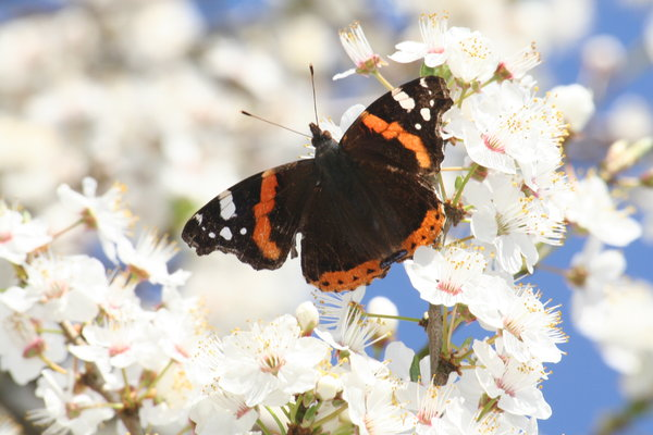 Butterfly at Rest: Butterfly on the blossom having a well earned break