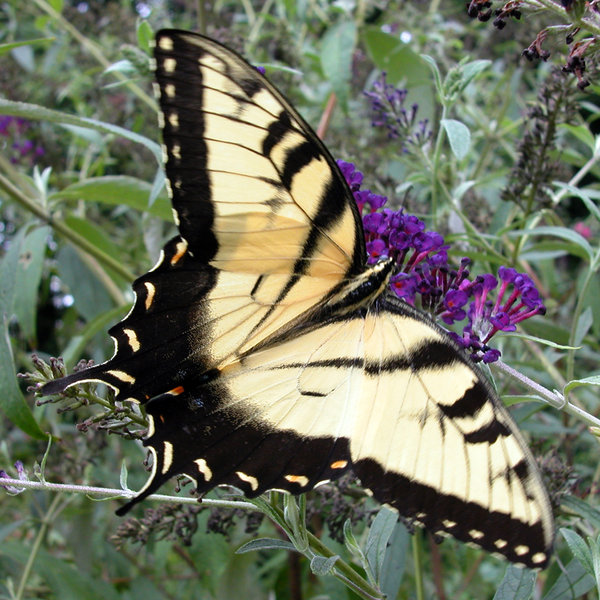 TIGER SWALLOWTAIL: THE