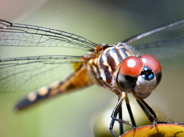 Stunning Dragonfly: Dragonfly watching me as i watered my garden