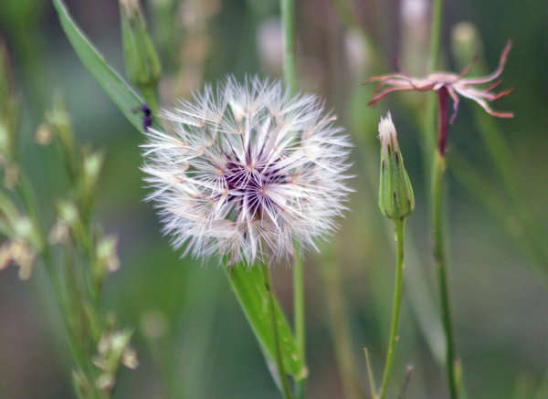 Dandelion Puff: Wild flowers in Texas