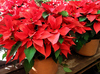 Pointsettia: Beautiful pointsettias