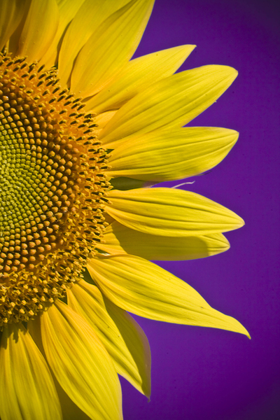 sunflowers: yellow summer :)let me know if you use it...