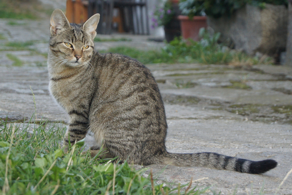 tiger cat 1: tabby cat