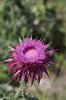 Thistle: Thistle