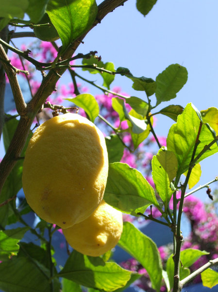lemon - crete: fruit, lemon, greece, island, crete