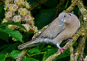 Mourning Dove: Mourning Dove in Horse Chestnut tree