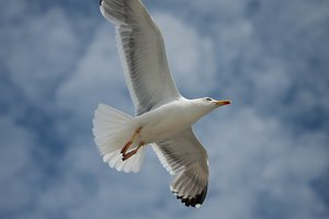 Flying seagull 4: Flying seagulls in Galicia, Spain, EU
