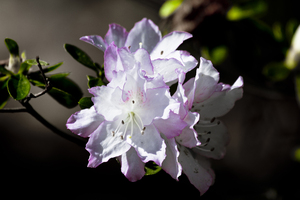 Azalea: no description