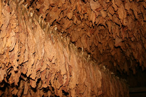 Tobacco: Barn full of tobacco leaves hanging to dry. Farm in Cuba