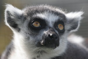 Ring-Tailed Lemur Portrait: Ring-Tailed Lemur Portrait