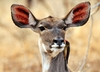 KUDU Female  4: Kudu is one of the larger antelope from Southern Africa, The female has no horns.