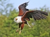 African Fish Eagle - The Look: African Fish Eagle in flight, making a mid-air turn.