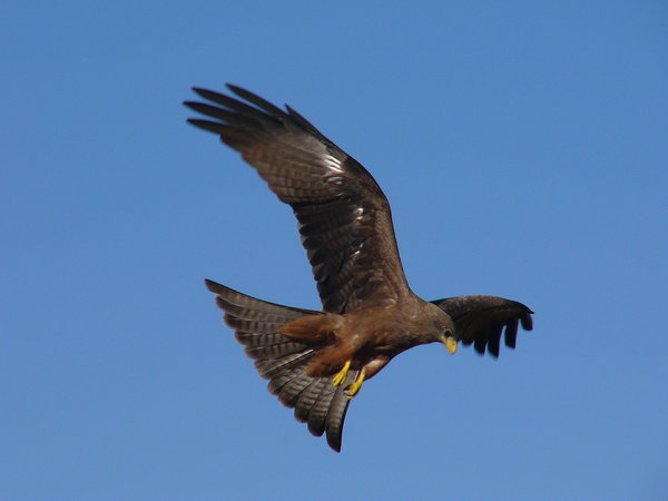 Yellow Billed Kite: Yellow Billed Kite (falcon) fovering in the  african sky looking for pray.