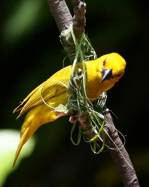 Yellow Weavers 3: Yellow weavers, the male builds the nest, the female does the inspection