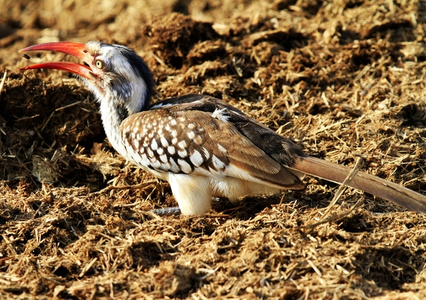 Red billed Hornbill: Red-billed Hornbill looking for seeds in Rhino Dung