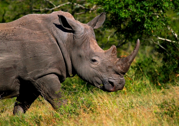 White Rhino: White rhinoceros, endangered, and killed at a rate of 100's every year for their horns because of a medicinal myth in the east
