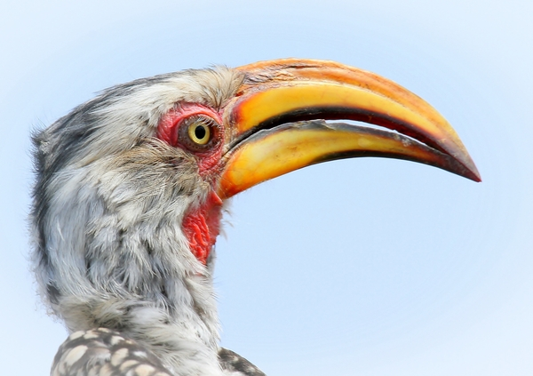 Eastern yellow-billed hornbill: The eastern yellow-billed hornbill, also known as the northern yellow-billed hornbill, is a species of hornbill in the Bucerotidae family. It is found in Djibouti, Eritrea, Ethiopia, Kenya, Somalia, South Sudan, Tanzania, Uganda and Southern Africa. (Wiki