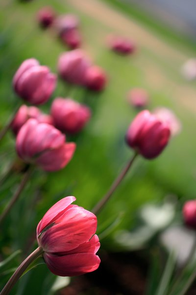 Pink Tulips: Close-up of pink tulips.