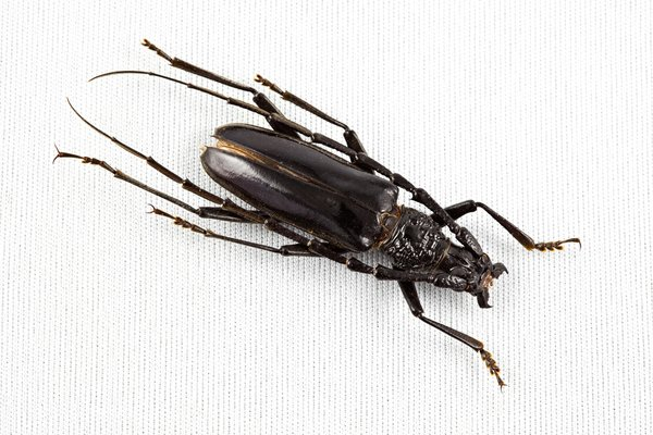 Cerambycidae Beetle: Close-up of a cerambycidae beetle isolated on a white background.