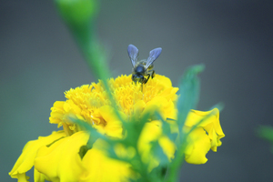 Yellow Flower: House fly drink Hone