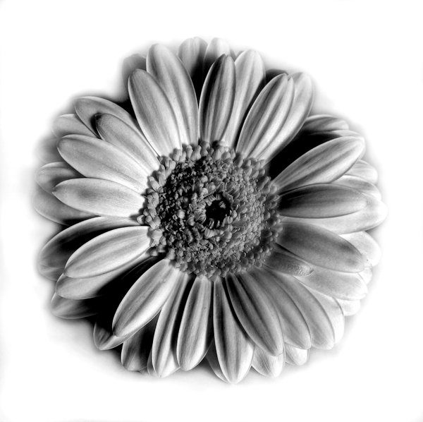 Gerbera: black and white shot of a gerbera daisy