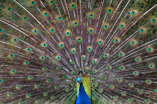 Peacock Feathers: