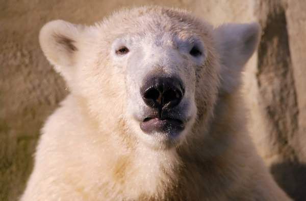 Polar Bear: Polar Bear spotted in Ouwehands Dierenpark Netherlands