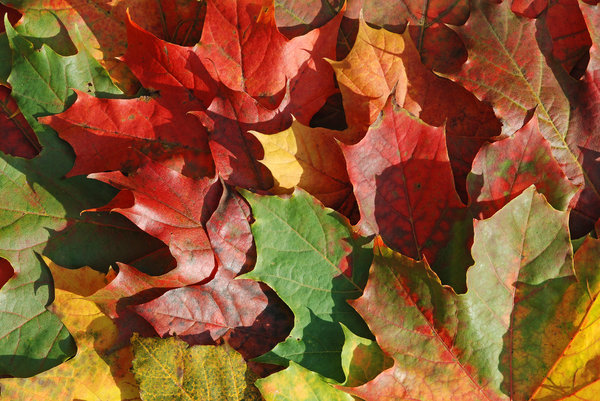 Maple Autumn: The colors of autumn.My Autumn Theme photos:http://www.sxc.hu/browse. ..