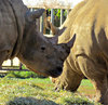 tough as a rhino2: grazing white rhinos
