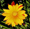 gazania gold4: the painted-like colourful appearance of gazanias