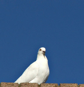 white peace bird: white pigeon symbol of peace