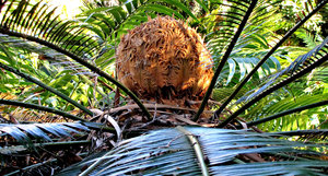 furry fruit: the furry seed pod fruit of a cycad
