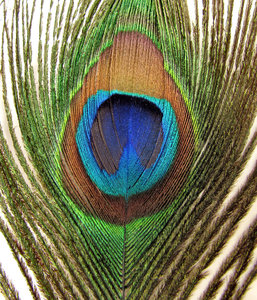 eye of the feather5: the colourful and iridescent eye of Indian peacock tail feather
