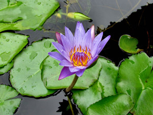 purple glory: open purple and gold water lilly