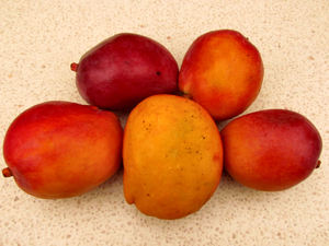 colourful mangoes1: colourful ripe fresh mangoes
