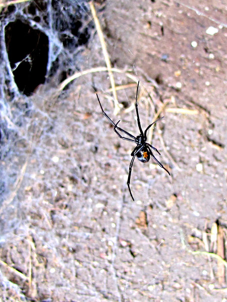 venomous female: the venomouos red back - black widow - spider