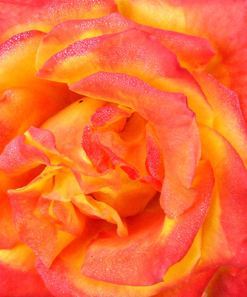 dampened fire: brightly and fiery coloured rose covered in dew drops