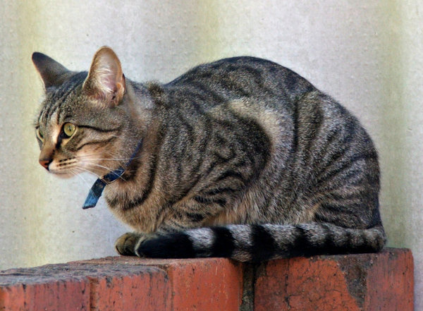 relaxed but alert: alert but relaxed grey and black tabby cat  sitting on brick fence