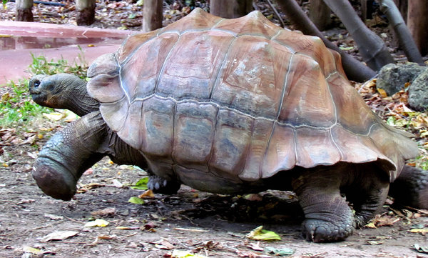 stepping out1: tortoise on the move