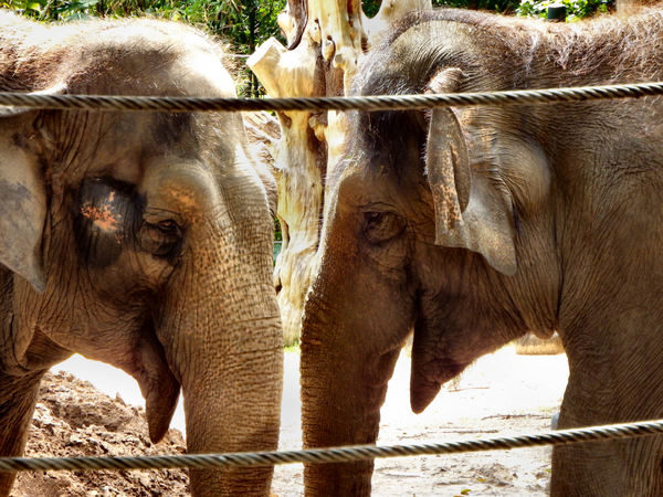 trunk to trunk3: female Indian elephants in close contact
