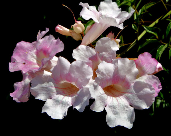 creeper's pink trumpet flowers