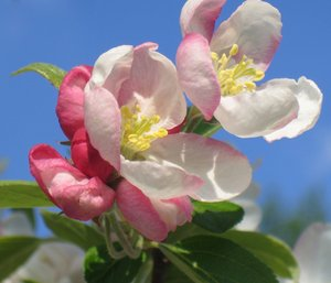 apple blossom: No description