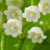 Lily of the valley: no description
