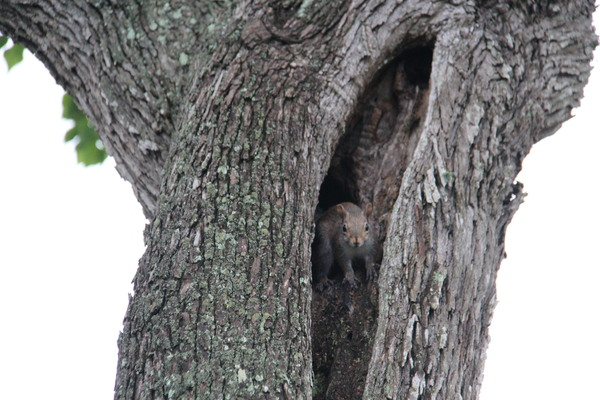 Texas Squirrels: Family of squirrels playing in old tree.