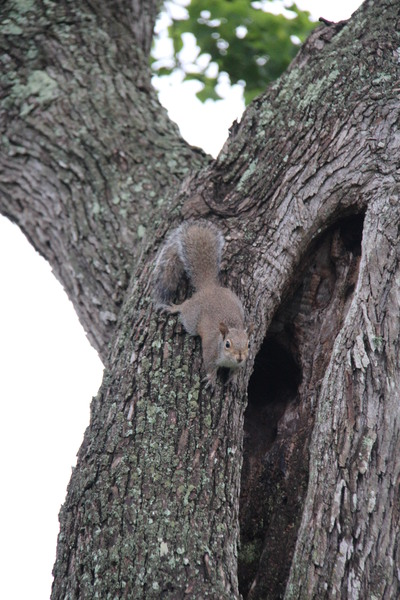 Texas Tree Squirrels : Family of squirrels playing in old chinese tallow tree in Galveston County, Texas.