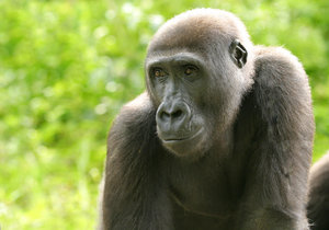gorilla 1: All of my non human subject photos are unrestricted so you do not need to contact me for permission. If you are planning on using a photo with people, please contact me in advance. Please mind that I will not allow them to be used for any religious purpos
